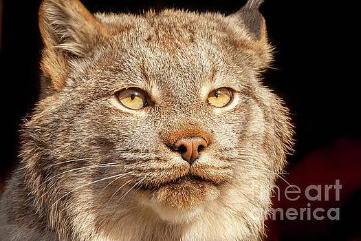 Lynx Portrait by Bernita Boyse