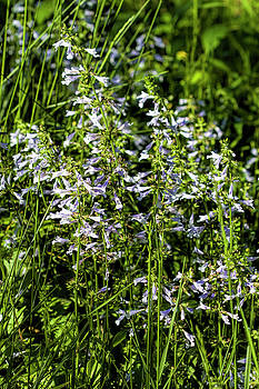 Lyreleaf Sage Wildflowers Natural Setting -  - Salvia Lyrata by Kathy Clark