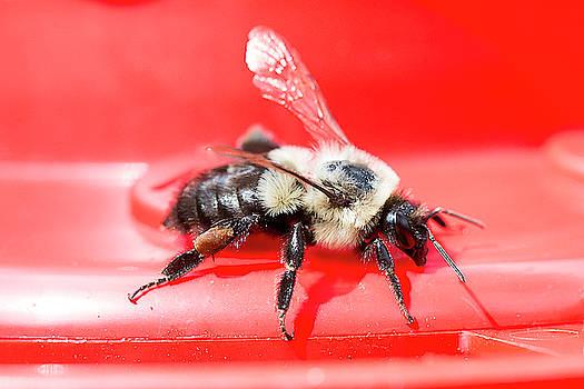 Macro Bee by David Stasiak