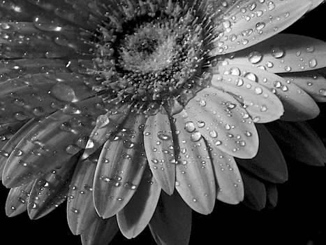Macro Flower Series - Gerbera in Black and White by Arlane Crump