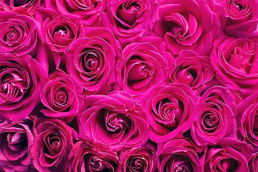 Magenta roses by Top Wallpapers