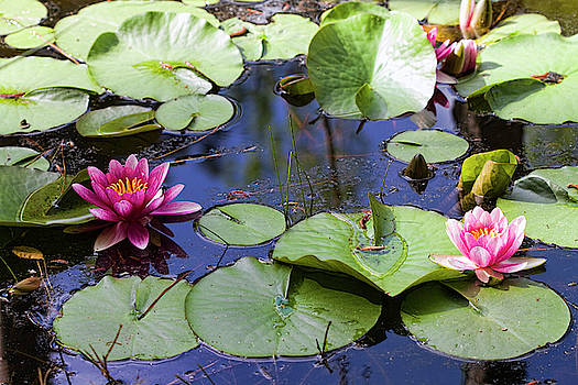 Magical Pink Waterlilies by Kathy Clark