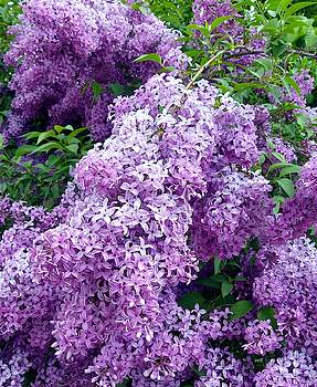 Magnificent Lilacs by Will Borden