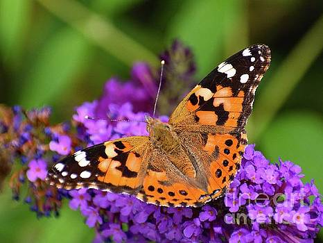 Cindy Treger - Magnificent Painted Lady