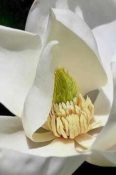 Magnolia Blossom by Sarah Lilja
