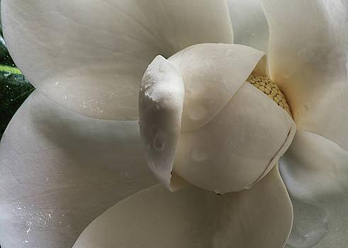 Magnolia by Chris Dahl