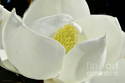 Magnolia Flora Beauty by Debby Pueschel