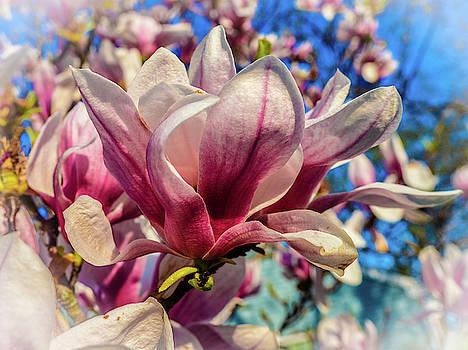 Louis Dallara - Magnolia flowers