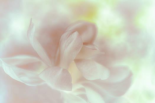 Magnolia Sunrise by Connie Handscomb