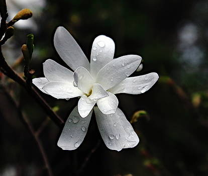 Magnolia With Raindrops by Jeff Townsend