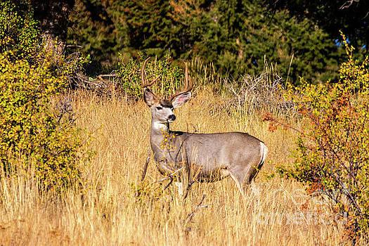 Steve Krull - Majestic Buck Mule Deer Autumn