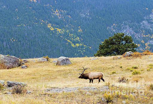 Steve Krull - Majestic Bull Elk in a Beautiful Meadow