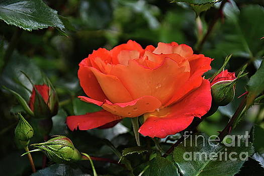 Majestic Rose by Diana Mary Sharpton