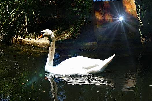 Majestic Swan by Yvonne Sewell