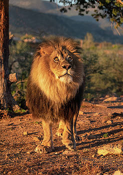 Male African Lion in early light by Gloria Anderson