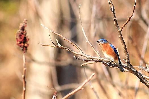 Male Eastern Bluebird   by Carol Montoya