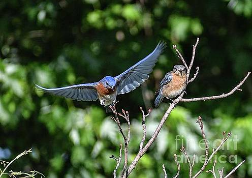 Male Eastern Bluebird Joining His Mate by Cindy Treger