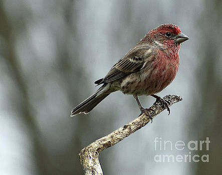 Cindy Treger - Male House Finch On A Winters Day