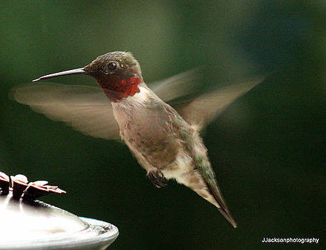 Male Hummingbird by Jonathan Jackson Coe