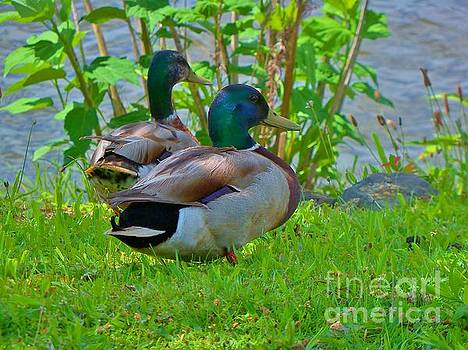 Male Mallard Ducks 7 by JudithAnne Monahan