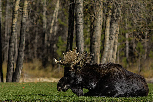 Julieta Belmont - Male moose chilling