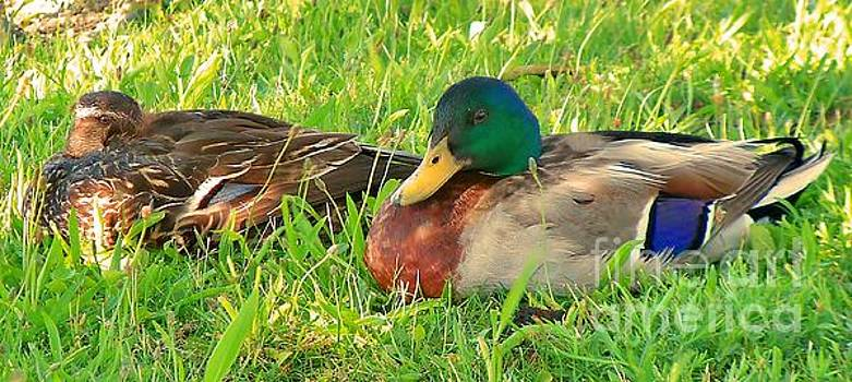 Male n Female mallard ducks 8 by JudithAnne Monahan