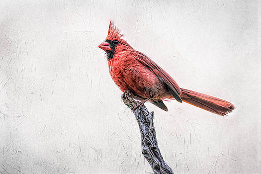 Male Northern Cardinal on a Snag by Debra Martz