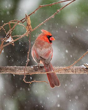 Male Red Cardinal Snowstorm by Mike Koenig