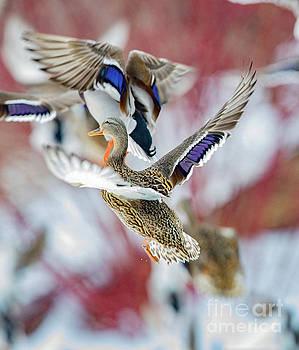 Mallard  ducks in flight by Randy Kostichka