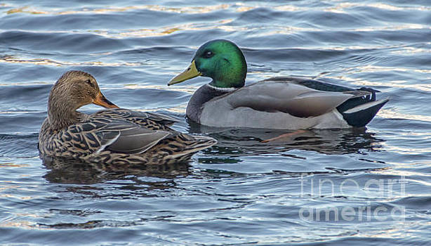 Dale Powell - Mallard Ducks on their Southern Journey