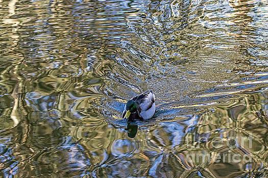 Mallard Fantail by Kate Brown