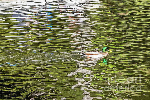 Mallard Reflected with Boat by Kate Brown