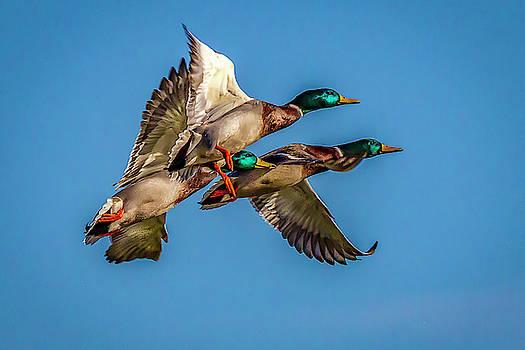 Mallards in Flight by David Wagenblatt