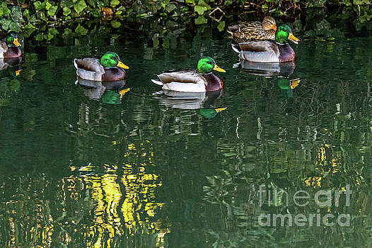 Mallards in the Shadows by Kate Brown