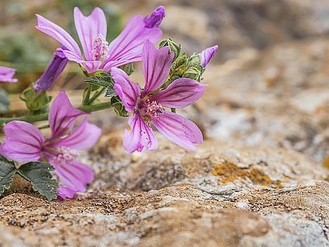 Malva sylvestris - spontaneous flower of the Tuscan mountains by Giovanni Bertagna