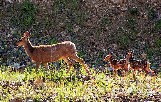 Mama Deer and Fawns by Steve Krull