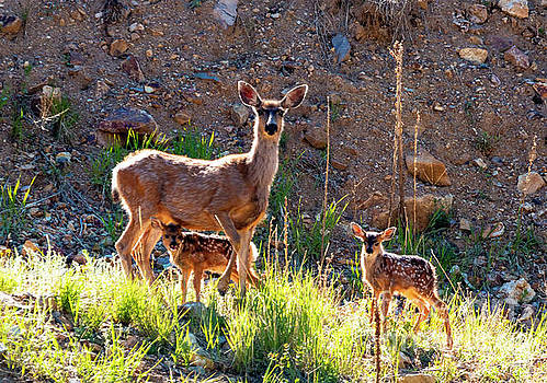 Mama Deer Protecting Fawns by Steve Krull