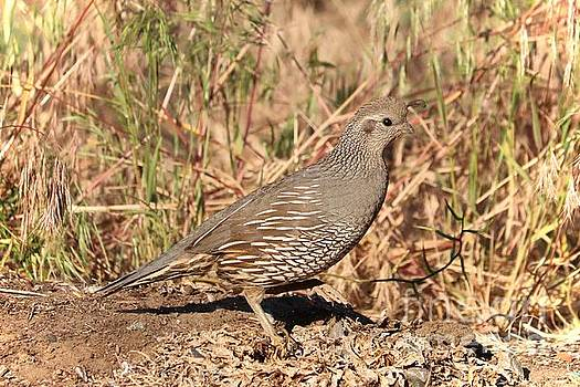 Mama Quail in the Cheatgrass by Carol Groenen