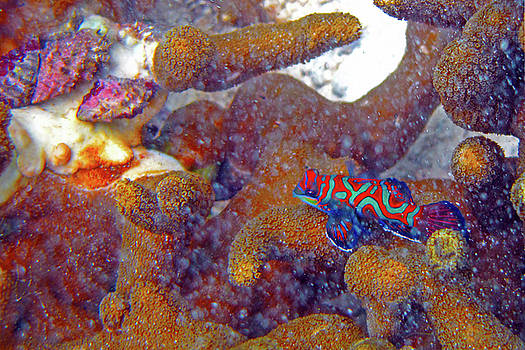 Susan Burger - Mandarin Fish and Coral