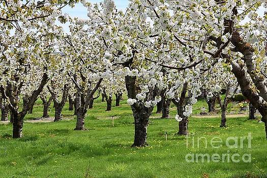Many Cherry Blossoms in Spring Orchard by Carol Groenen