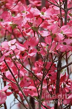 Many Spring Pink Dogwood Blossoms by Carol Groenen