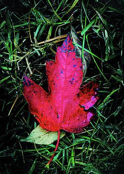 Maple Leaf by Allin Sorenson