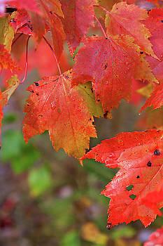 Cliff Wassmann - Maple Leaves