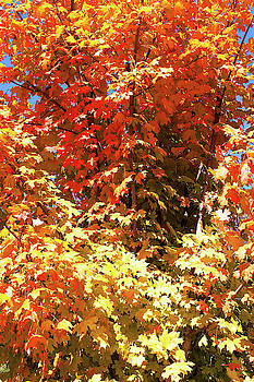 Maple Leaves by Jackson Ball