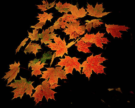 Maple Leaves on Black by Tim Kirchoff
