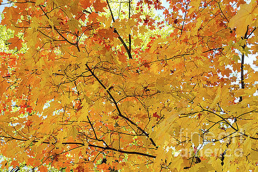 James BO Insogna - Maple Tree Autumn Color Bliss