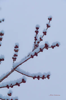 Maple Twigs In Winter by Mick Anderson