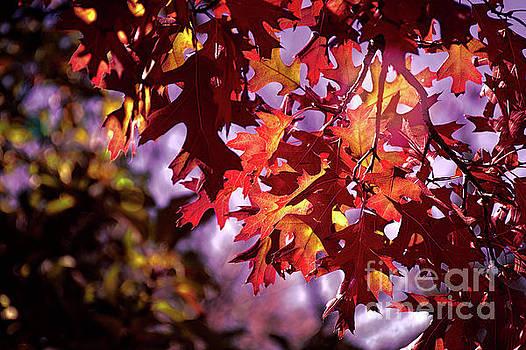 Maple's Last Light by Susan Warren