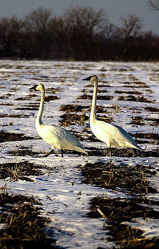 March of  the Trumpeter Swan Cob and Pen by Rick Grisolano Photography LLC