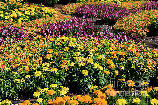 Marigolds Fall Flowers by Jill Lang